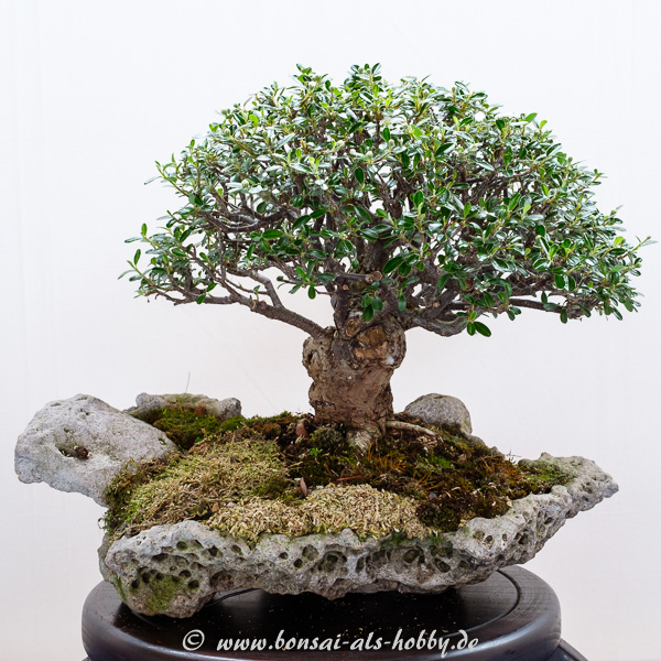 Cotoneaster als kleiner Bonsai