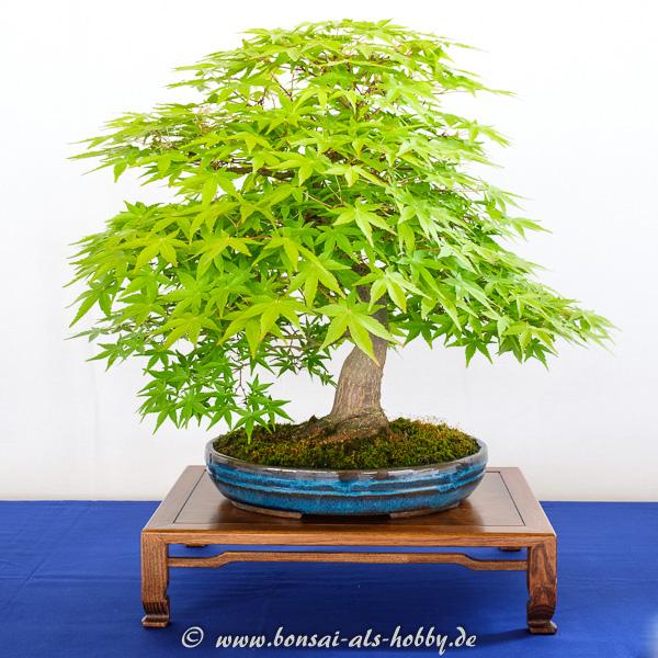 Fächerahorn - Acer palmatum Kadsura als Bonsai