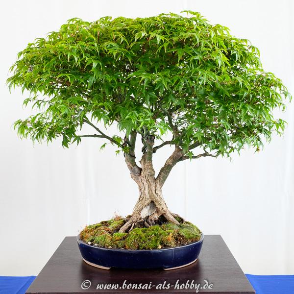 Fächerahorn - Acer palmatum Kiyohime als Bonsai