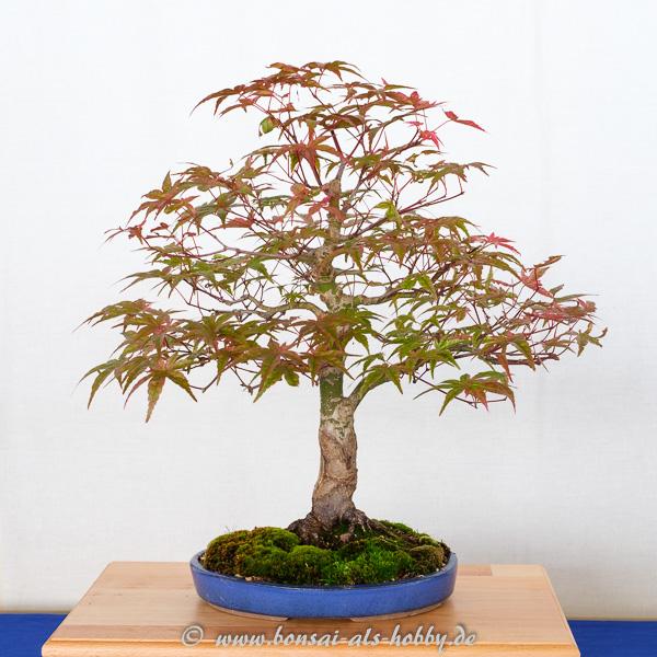 Fächerahorn - Acer palmatum Deshojo