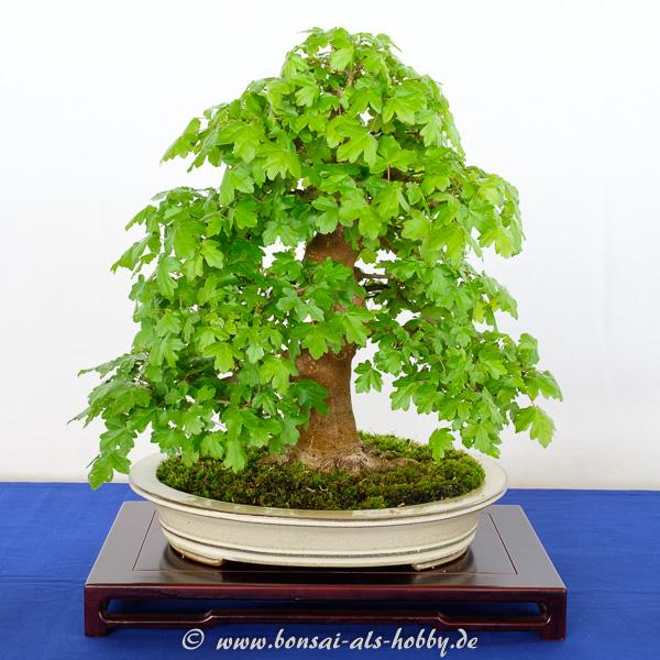 Feldahorn - Acer campestre als Bonsai