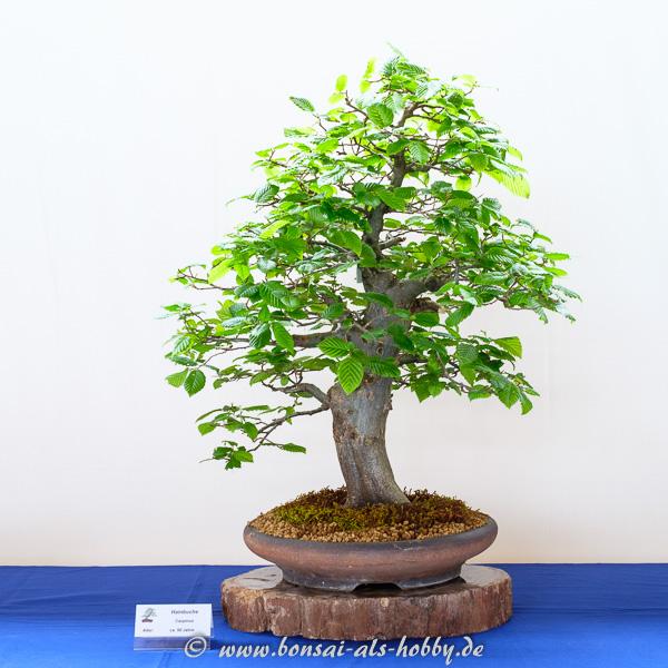 Hainbuche - Carpinus betulus als Bonsai