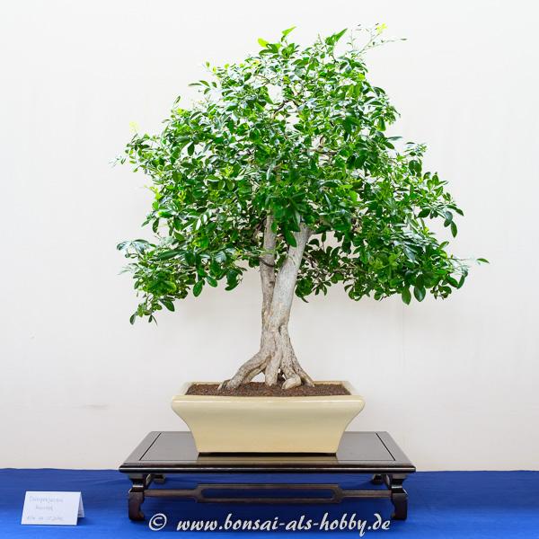 Orangenjasmin - Murraya als Bonsai-Baum