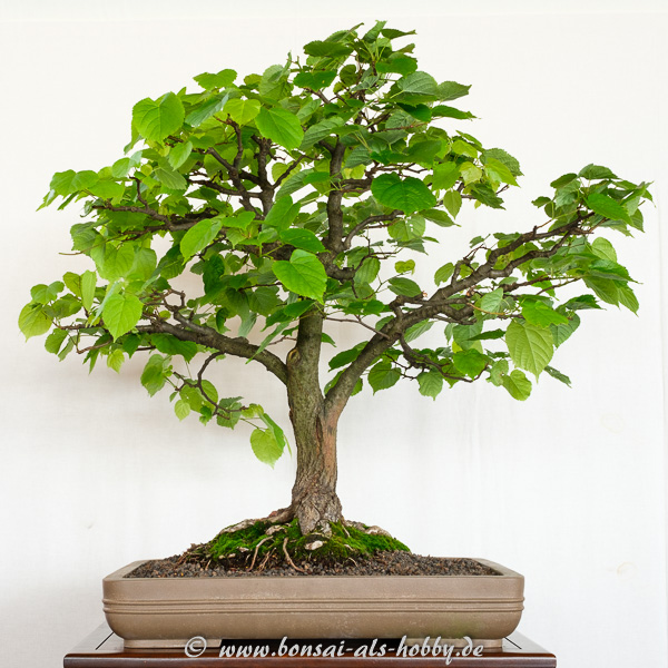 Winter-Linde - Tilia cordata als Bonsai