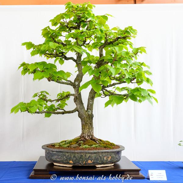 Sommer-Linde - Tilia platyphyllos als größerer Bonsai