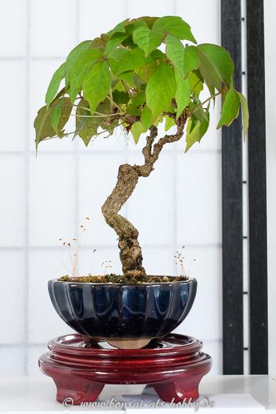 aicWilder Wein - Partenocissus als Shohin-Bonsai