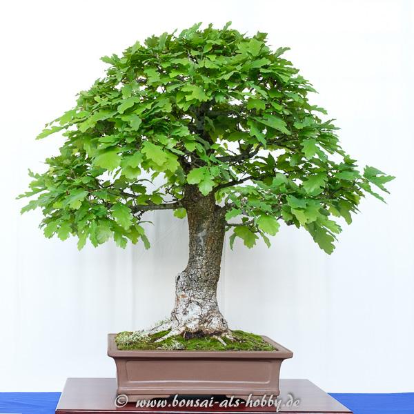 Stiel-Eiche - Quercus robur als Bonsai