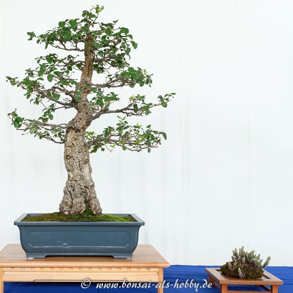 Kork-Eiche - Quercus suber als Bonsai
