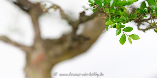 Laub an einer Ulmus parvifolia