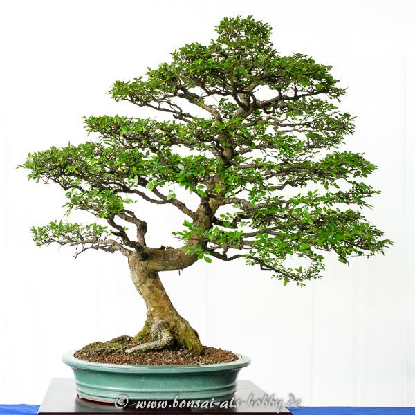 Sehr alte Chinesische Ulme - Ulmus parvifolia als Bonsai