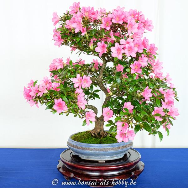 Rhododendron indicum mit rosa Blüten
