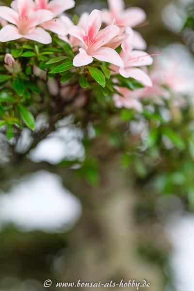 Blüten an einem Rhododendron indicum Bonsai