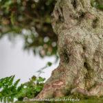 Alter Stamm an einem Rhododendron indicum Bonsai