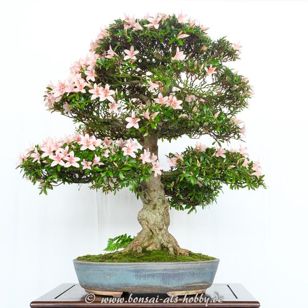Rhododendron indicum mit lachsfarbenen Blüten