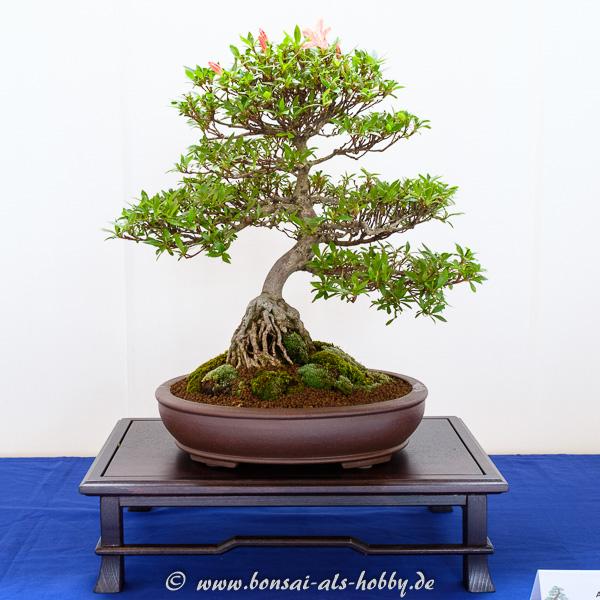 Rhododendrom indicum mit urigen Wurzeln