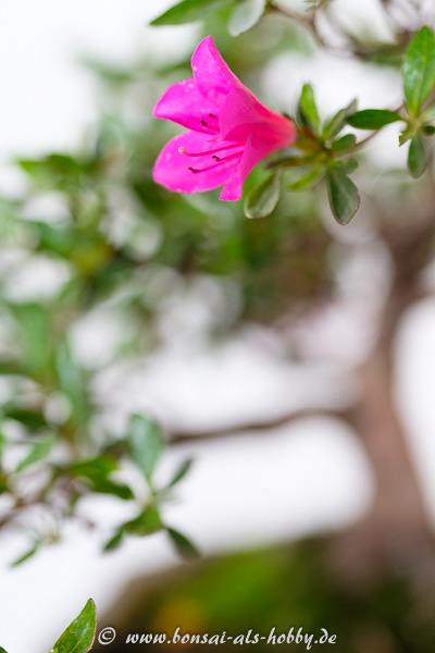 Lila Blüte Rhododendron indicum Bonsai