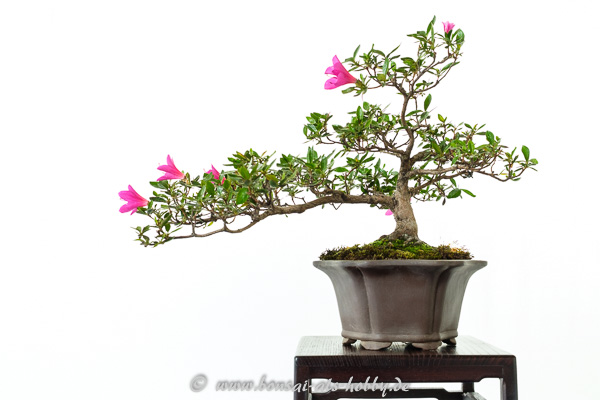 Rhododendron indicum mit lila Blüten