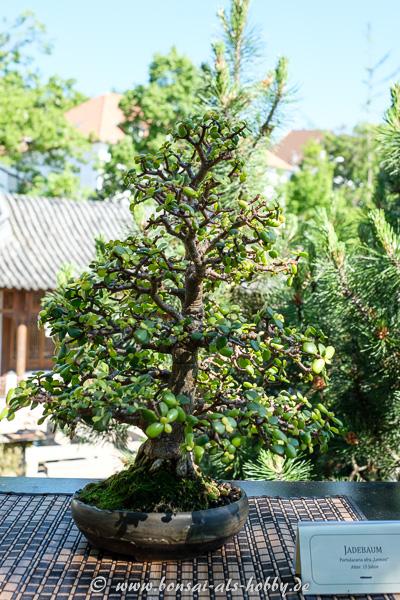 Jadebaum - Portulacaria afra als Bonsai