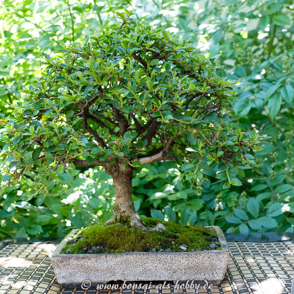 Zergmispel - Cotoneaster als Bonsai
