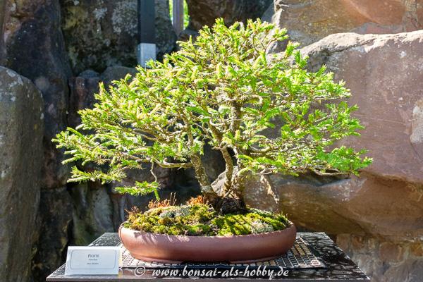 Fichte - Picea als Bonsai