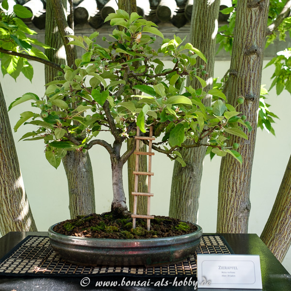 Bonsai Apfelbaum mit Leiter