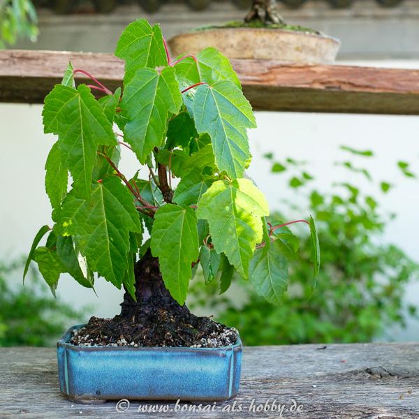 Feuerahorn als Shohin-Bonsai