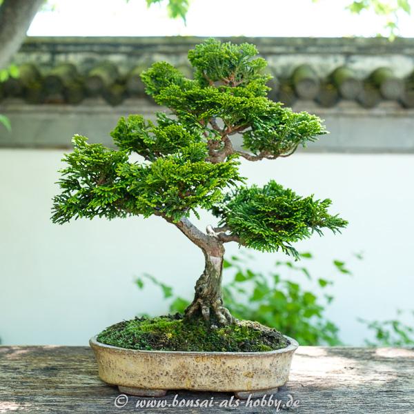 Wacholder als Shohin Bonsai