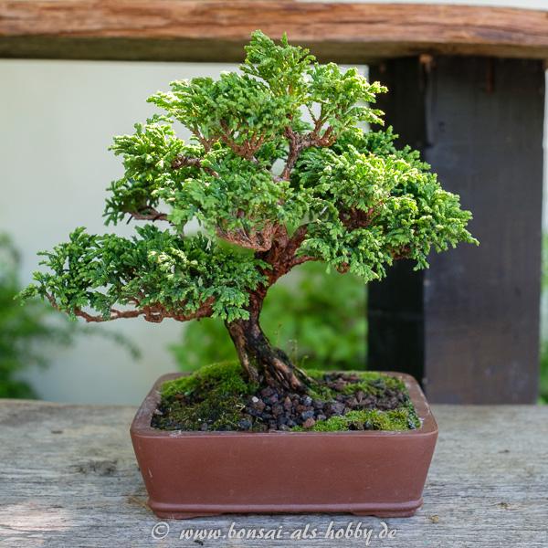 Scheinzypresse als Shohin-Bonsai