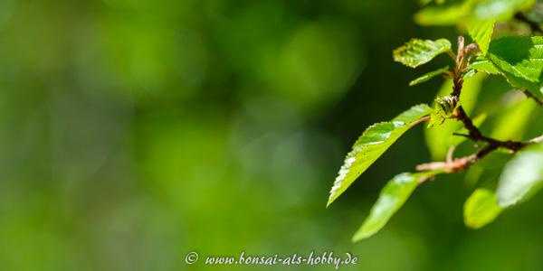 Nahaufnahme Laub an einem Bonsai
