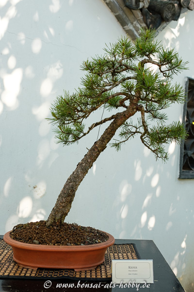 Wald-Kiefer - Pinus sylvestris als Bonsai