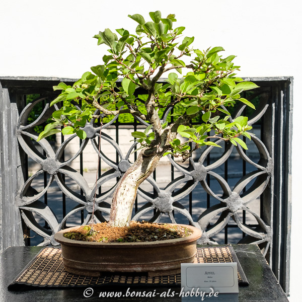 Malus - Apfel als Bonsai