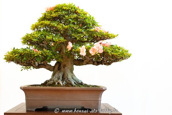 """Satsuki-Azalee - Rhododendron indicum """"Wakaebisu"""""""