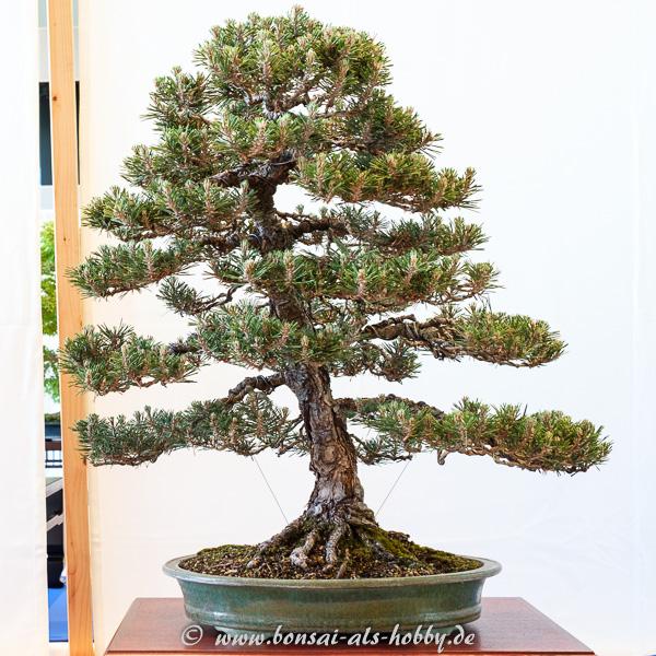 """Japanische Schwarzkiefer - Pinus thunbergii """"Kotobiki"""""""