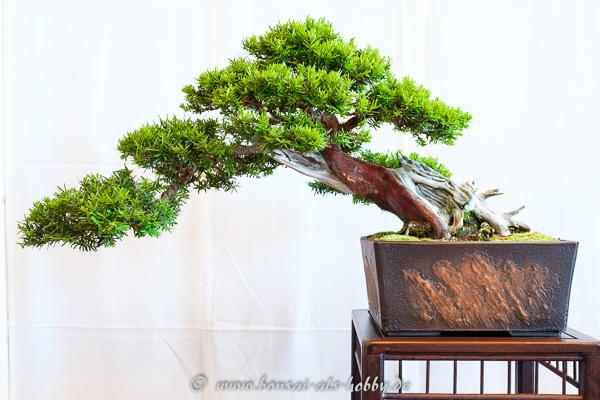 Gemeine Eibe - Taxus baccata