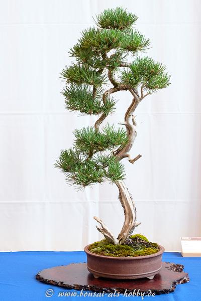 Berg-Kiefer - Pinus mugo