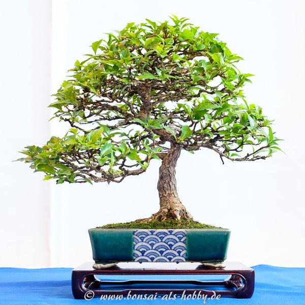 Duftahorn - Premna japonica