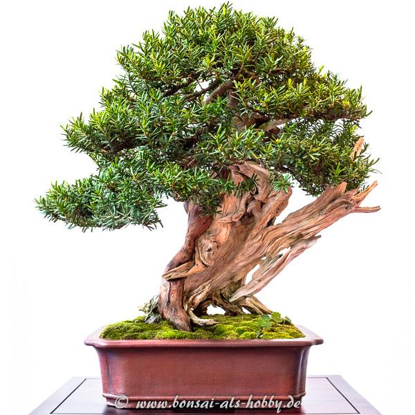 Japanische Eibe - Taxus cuspidata