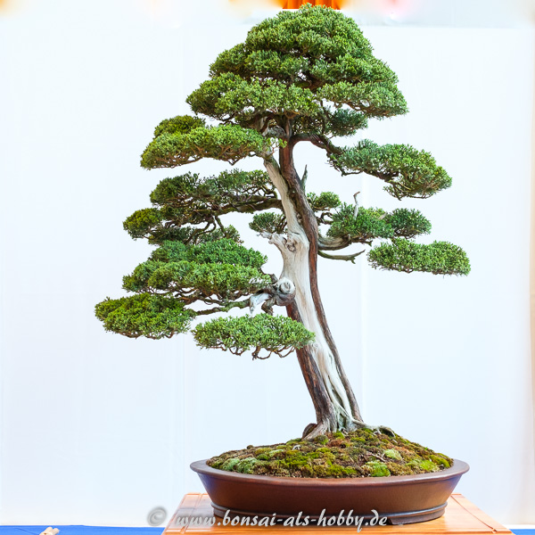 Großer Chinesischer Wacholder - Juniperus chinensis