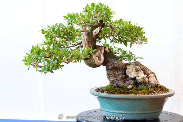 Felsenbirne - Phillyrea latifolia