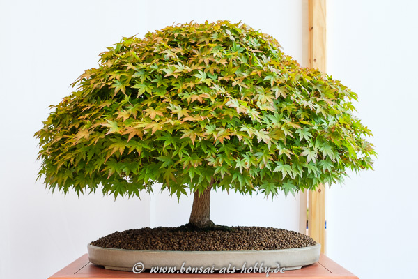 "Fächerahorn - Acer palmatum ""Kashima"""