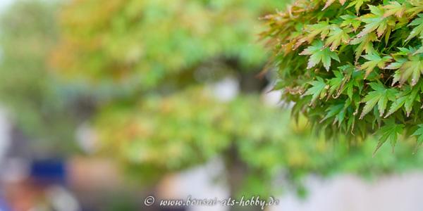Fächerahorn auf der Bonsaiausstellung
