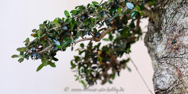 Olivenbaum als Bonsai