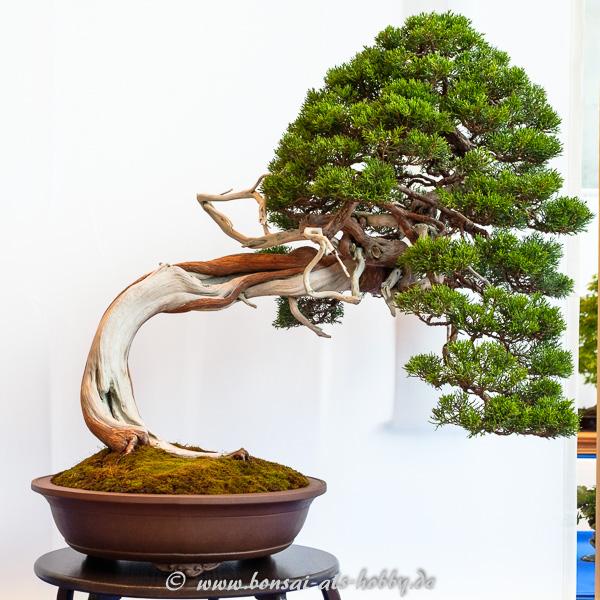 Sadebaum - Juniperus sabina