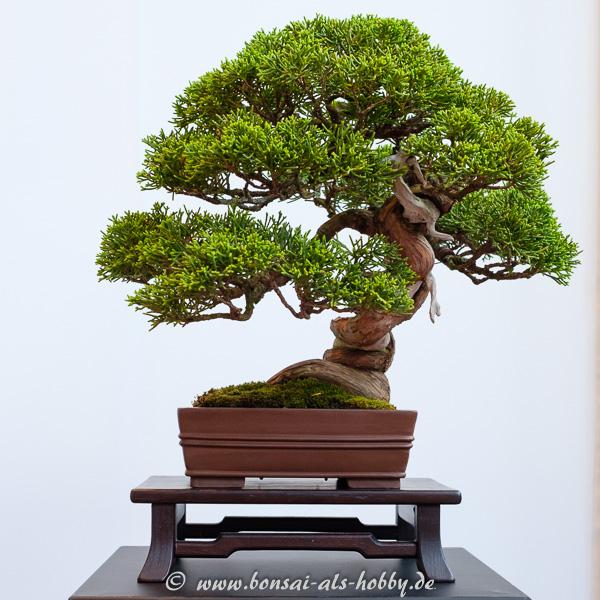 Chinesischer Wacholder - Juniperus chinensis