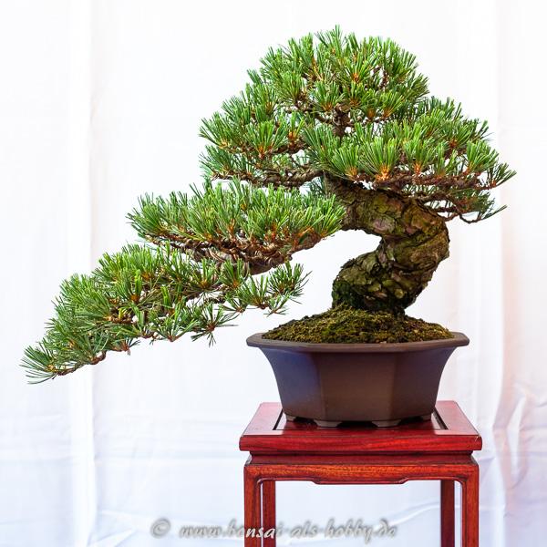 Kleine Mädchenkiefer - Pinus parviflora