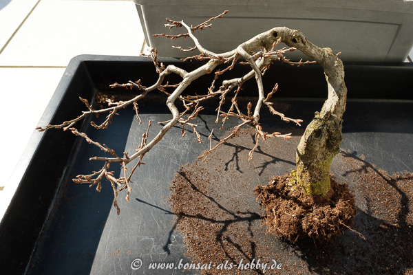 Carpinus orientalis Bonsai Baum ausgetopft