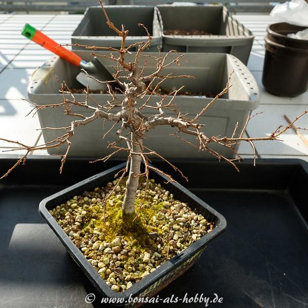 Zelkova serrata Jungpflanze