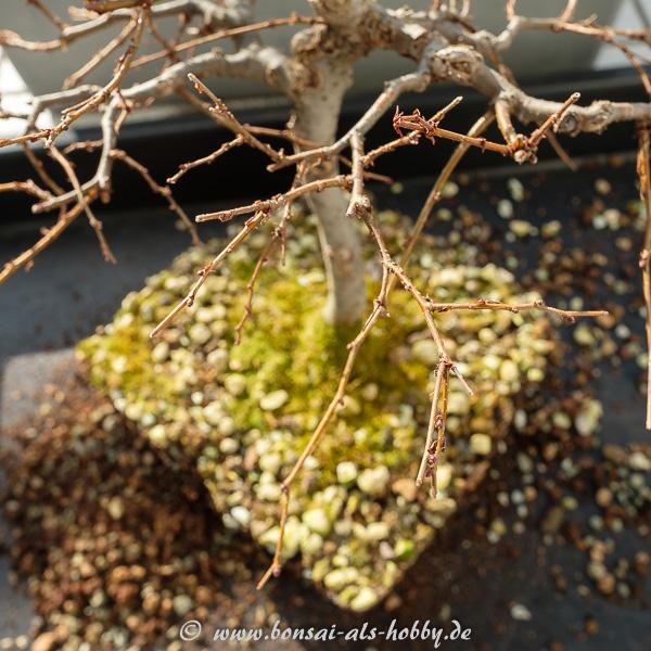 Zelkova serrata Äste vor dem Formschnitt