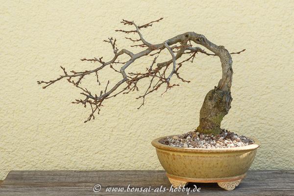 Carpinus orientalis in der ersten Bonsaischale