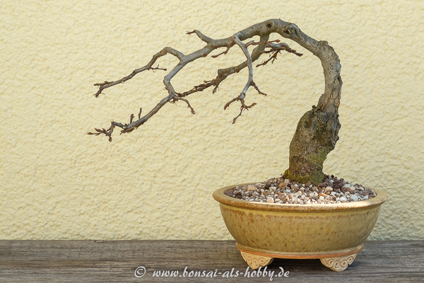Carpinus orientalis Formschnitt